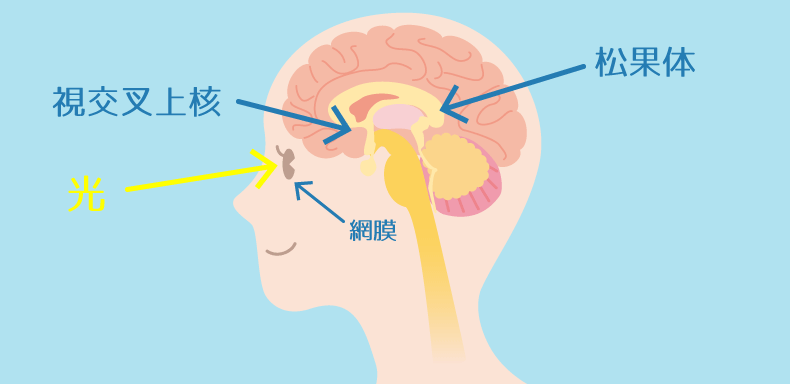 メラトニンが発生するための脳部位